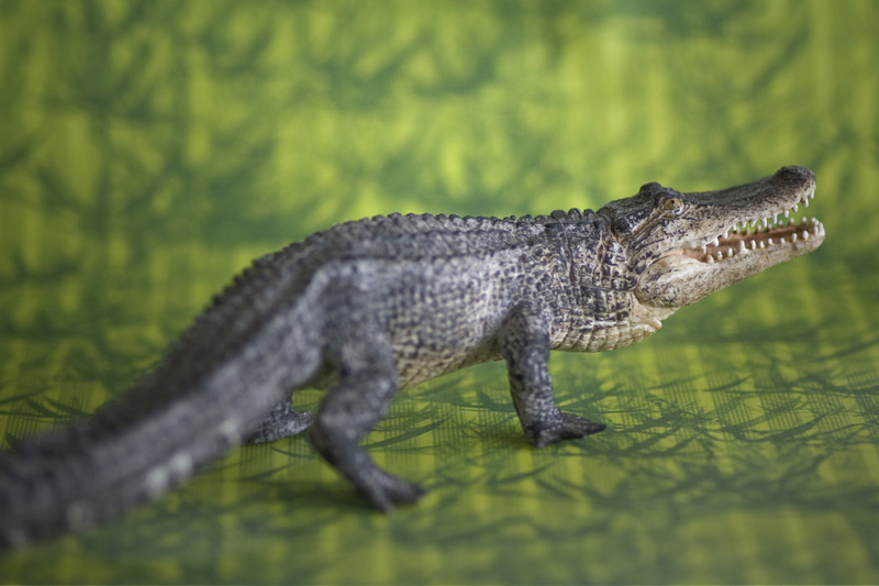 Mojo alligator- walk around by Ana _mg_6915