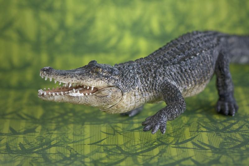 Mojo alligator- walk around by Ana _mg_6917