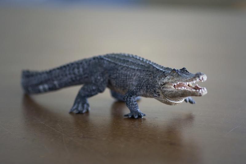 Mojo alligator- walk around by Ana _mg_6918