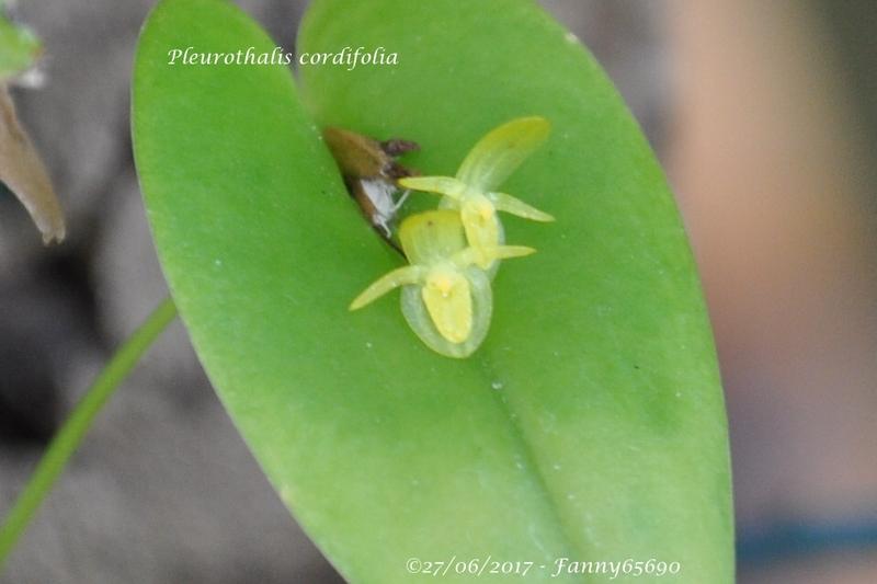Pleurothalis cordifolia Csc_0015