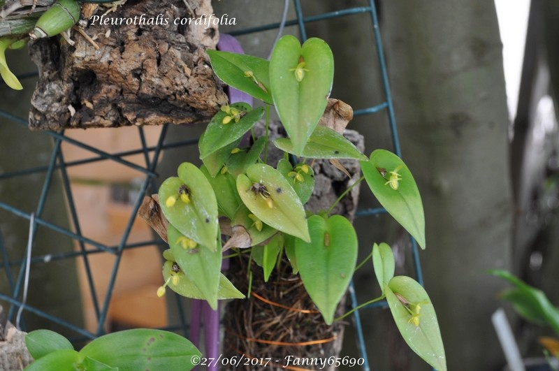 Pleurothalis cordifolia Dsc_0014