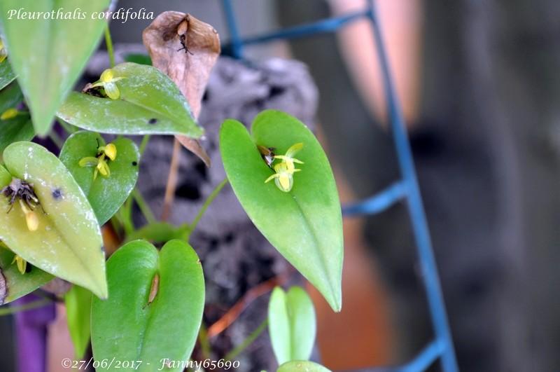Pleurothalis cordifolia Dsc_0015