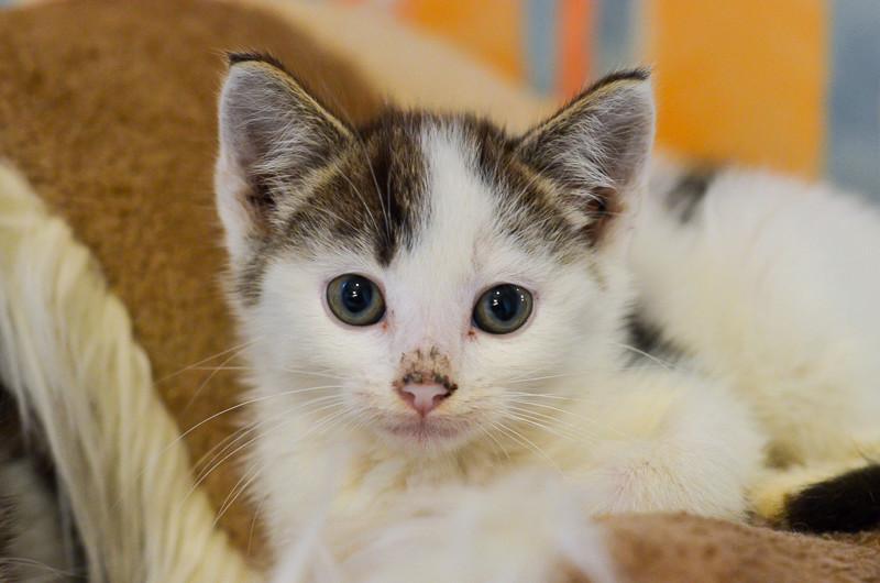 Nestor, mâle européen blanc et tigré, né le 1er septembre 2017 Nestor14