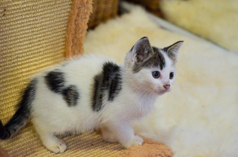Nestor, mâle européen blanc et tigré, né le 1er septembre 2017 Nestor18