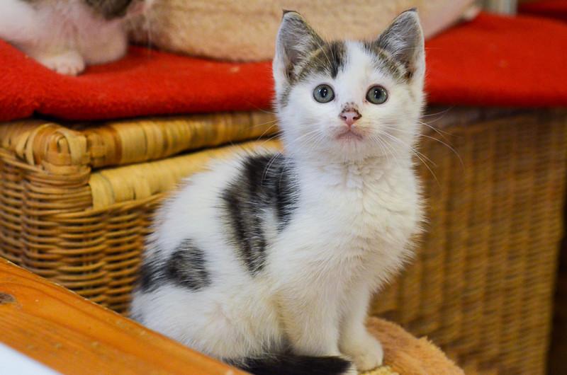 Nestor, mâle européen blanc et tigré, né le 1er septembre 2017 Nestor19