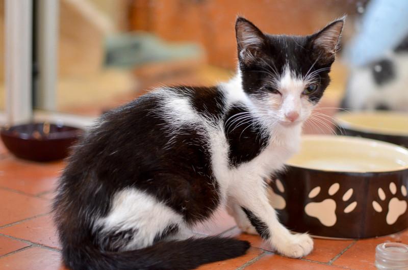 Nouchka, femelle européenne noire et blanche, née le 15 juillet 2017 Noucka15