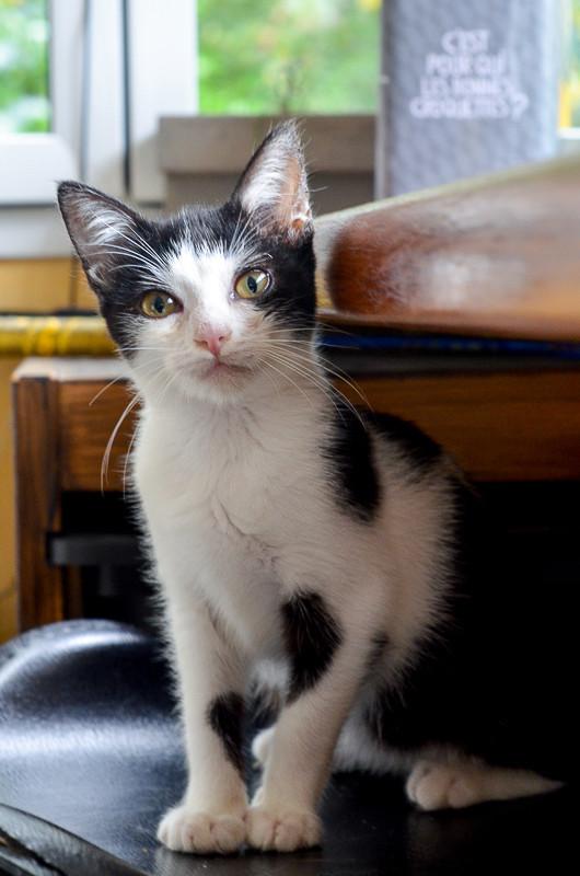 Nouchka, femelle européenne noire et blanche, née le 15 juillet 2017 Noucka17