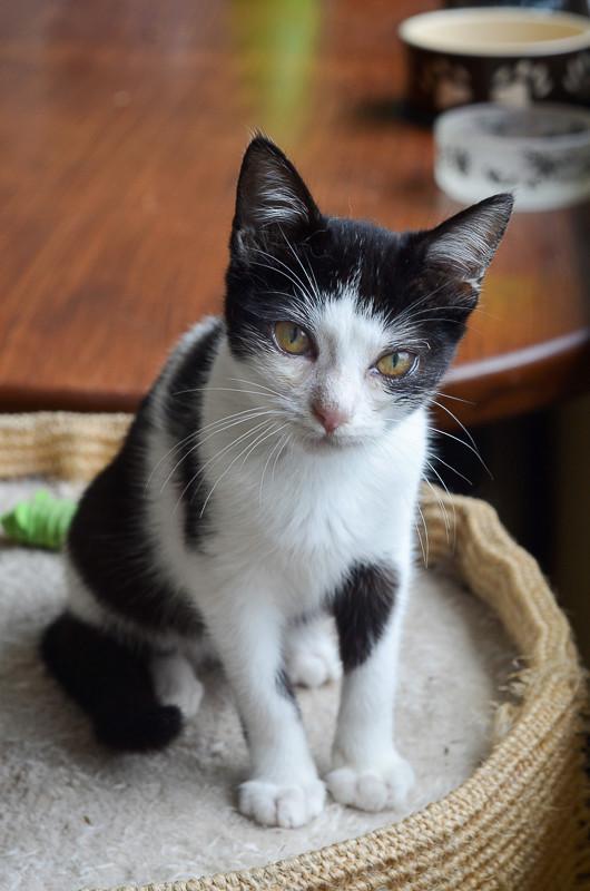 Nouchka, femelle européenne noire et blanche, née le 15 juillet 2017 Noucka19