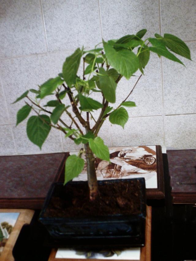 Quel est le nom de ce bonsaï ? 2017-013