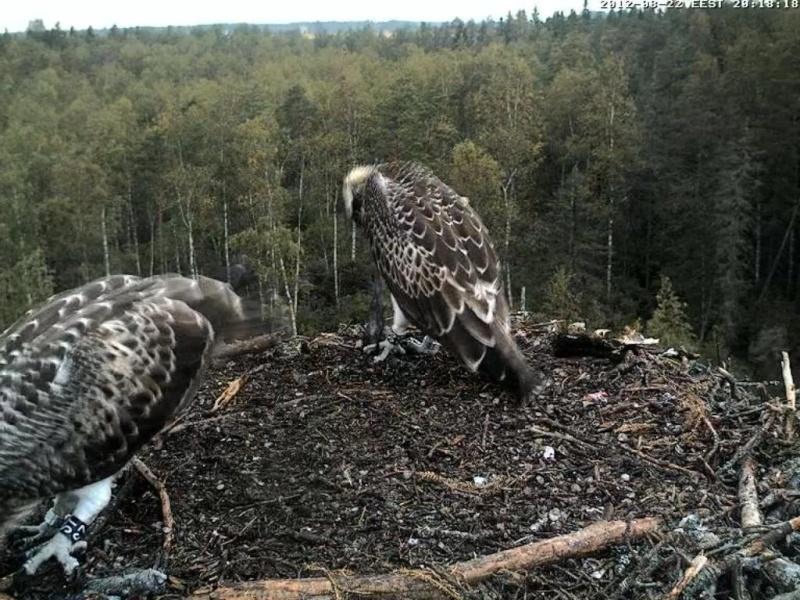 Osprey's nest in Estonia livestream - Page 17 0ce20-11