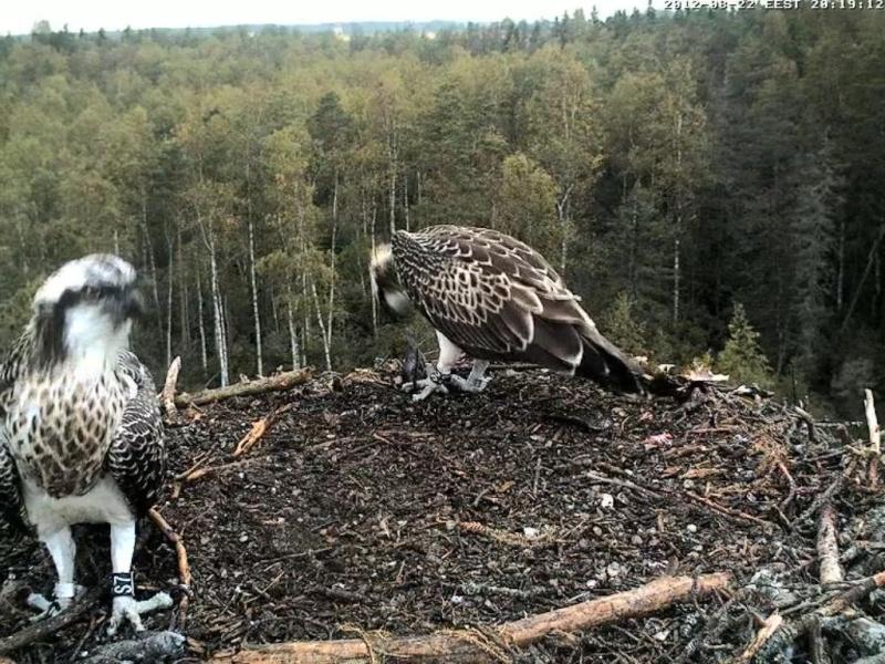 Osprey's nest in Estonia livestream - Page 17 0ce20-12
