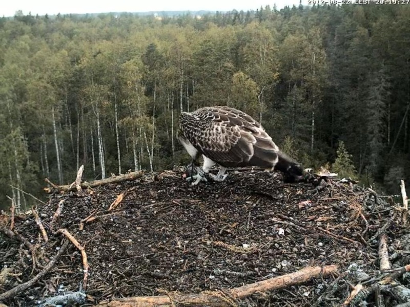 Osprey's nest in Estonia livestream - Page 17 0ce20-13