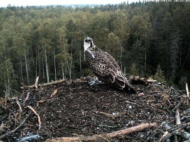 Osprey's nest in Estonia livestream - Page 17 0ce20-14
