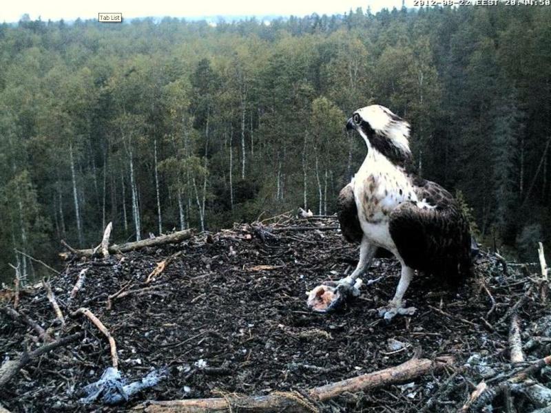 Osprey's nest in Estonia livestream - Page 17 0ce20-15
