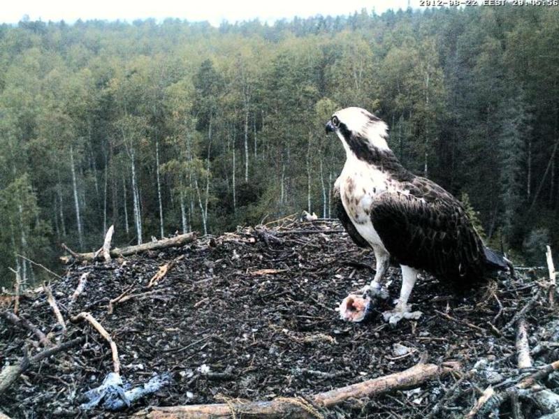 Osprey's nest in Estonia livestream - Page 17 0ce20-16