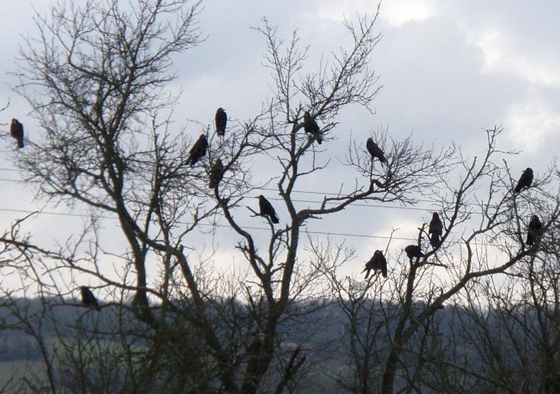 Petition contre le cormoran Cornei10