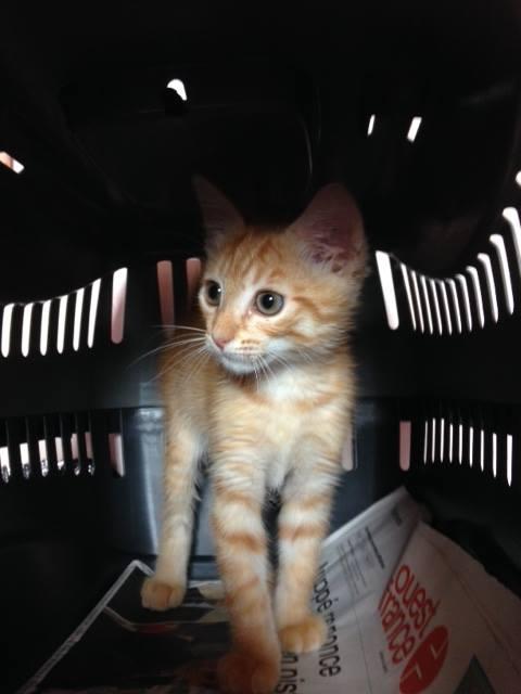 EXTRÊME URGENCE fourrière le 27 juillet pour un chaton 20197012