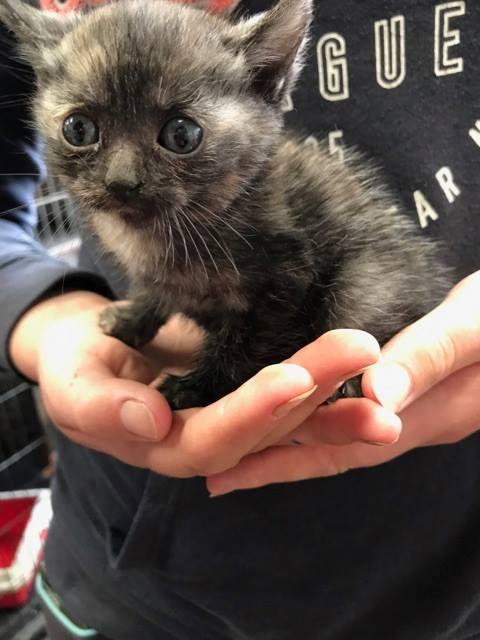 EXTRÊME URGENCE fourrière délai le 7 août pour 4 chatons 20526512