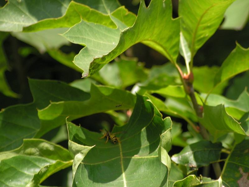 Mon chêne envahi par les guêpes Pict0028