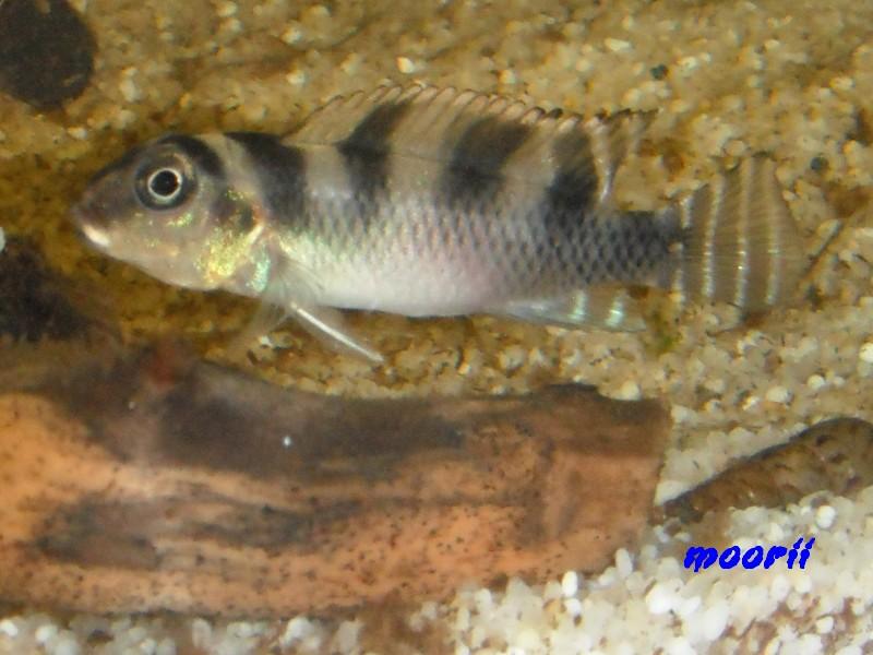 Nanochromis transvestitus 2010