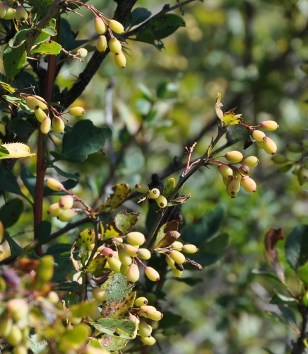 Berberis vulgaris - épine-vinette 017_4310