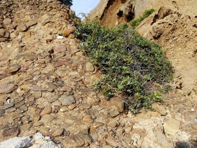 ile verte - L'Ile verte à la Ciotat et ses pins tourmentés Aout_210