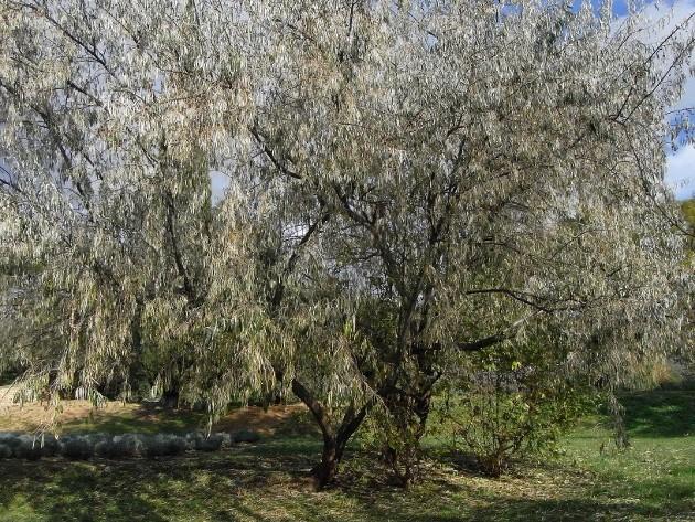 Elaeagnus angustifolia - olivier de bohême Automn11