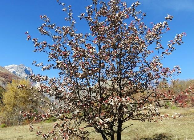 Sorbus aria - alisier blanc Automn13