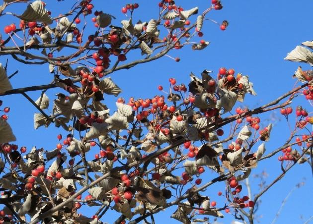 Sorbus aria - alisier blanc Automn14