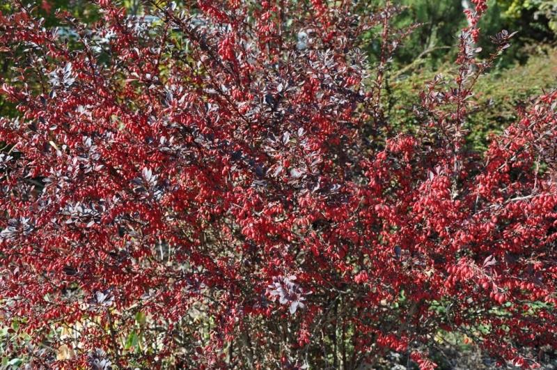 Les baies en automne (plantes sauvages ou cultivées) - Page 3 Berber10