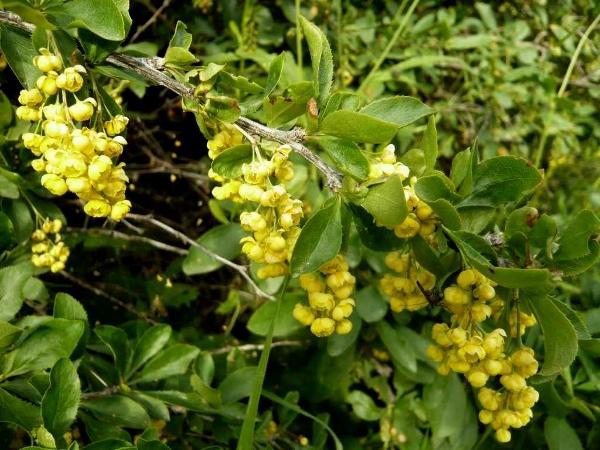 Berberis vulgaris - épine-vinette Berber11