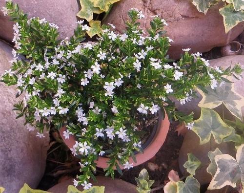 cuphea - Cuphea hyssopifolia - cuphea à feuilles d'Hysope Bretag10