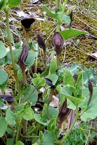 Aristolochia rotunda - aristoloche à feuilles rondes Copy_110