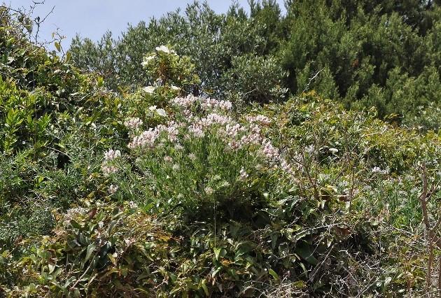Dorycnium hirsutum - bonjeanie hirsute Corse_10