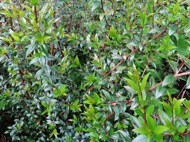Myrtus communis - myrte commun Corse_13