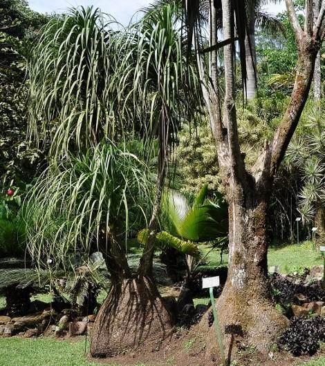 Beaucarnea recurvata - (ex Nolina recurvata) Costa_11