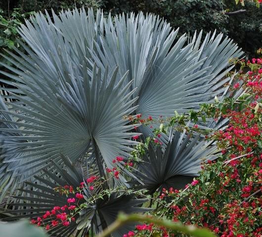 Bismarckia nobilis - palmier bleu de Madagascar Costa_12