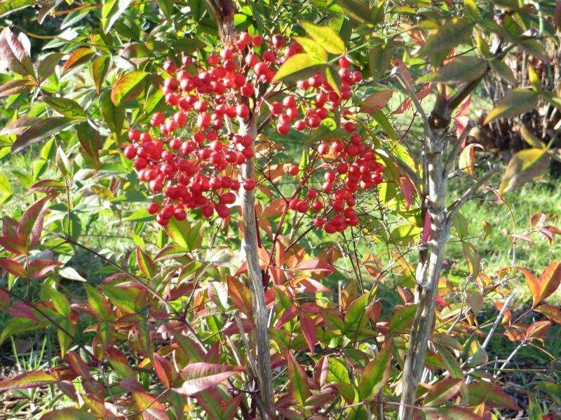 Les baies en automne (plantes sauvages ou cultivées) - Page 3 Dacemb11