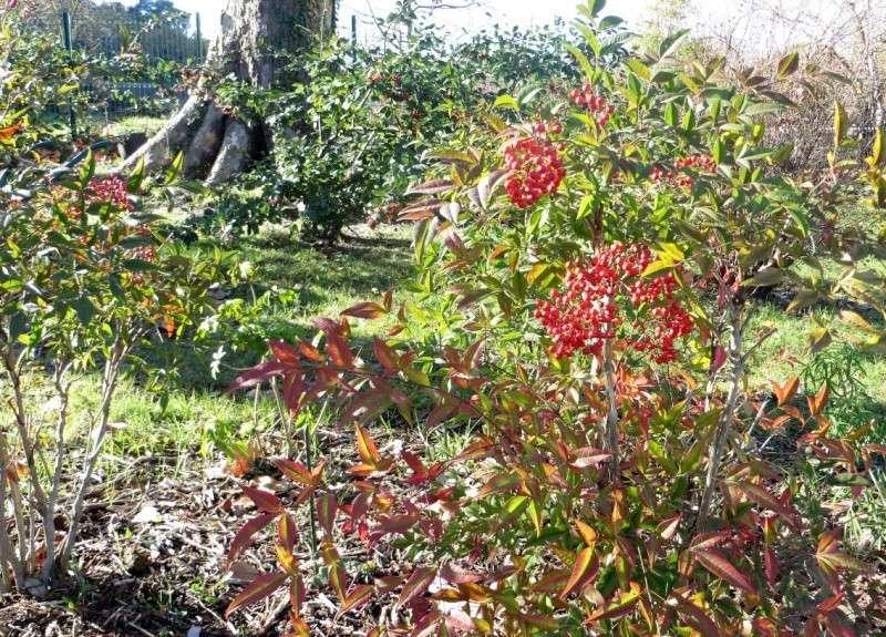Les baies en automne (plantes sauvages ou cultivées) - Page 3 Dacemb12