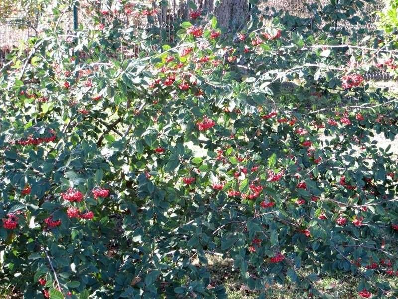 Les baies en automne (plantes sauvages ou cultivées) - Page 3 Dacemb13