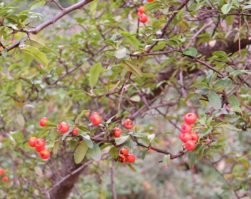 Les baies en automne (plantes sauvages ou cultivées) - Page 3 Dacemb14