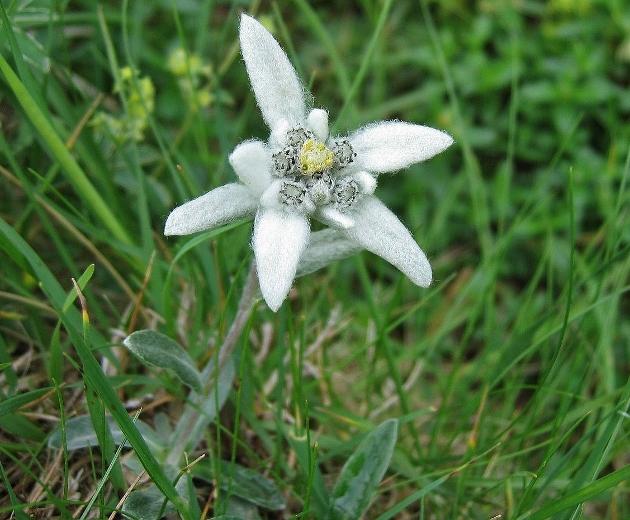 Leontopodium nivale subsp. alpinum - edelweiss  Edelwe10