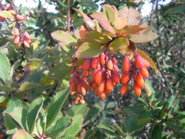 Berberis vulgaris - épine-vinette Epine_10