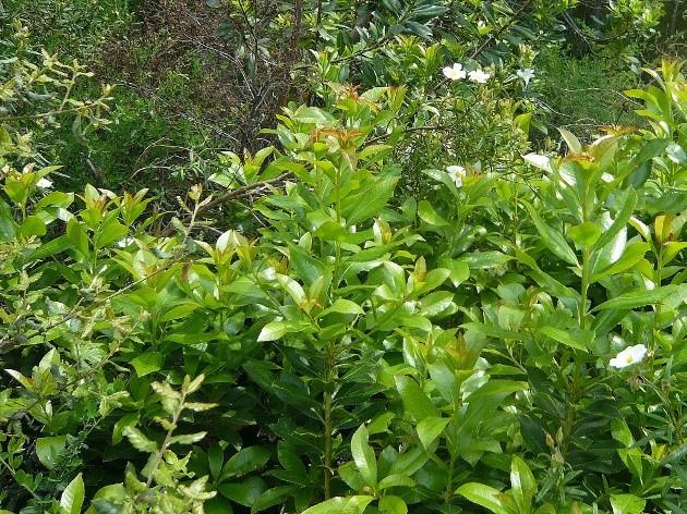 Myrtus communis - myrte commun Flore_12