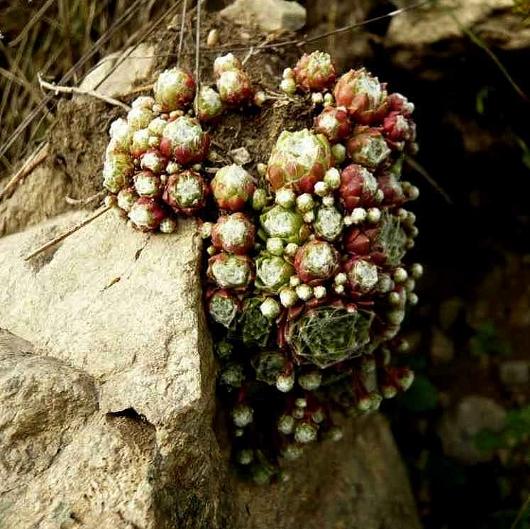 Sempervivum arachnoideum - joubarbe toile d'araignée Hautes15