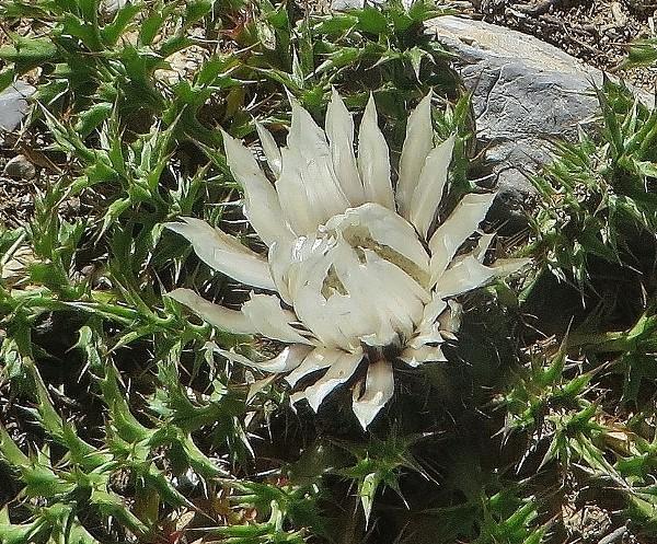 Carlina acaulis subsp. caulescens - carline acaule Hautes17