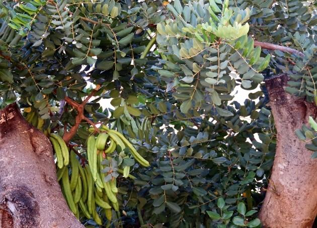 Ceratonia siliqua - caroubier Img_6017