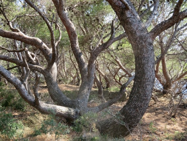ile verte - L'Ile verte à la Ciotat et ses pins tourmentés Img_6311