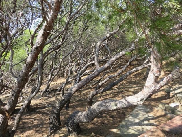 ile verte - L'Ile verte à la Ciotat et ses pins tourmentés Img_6312