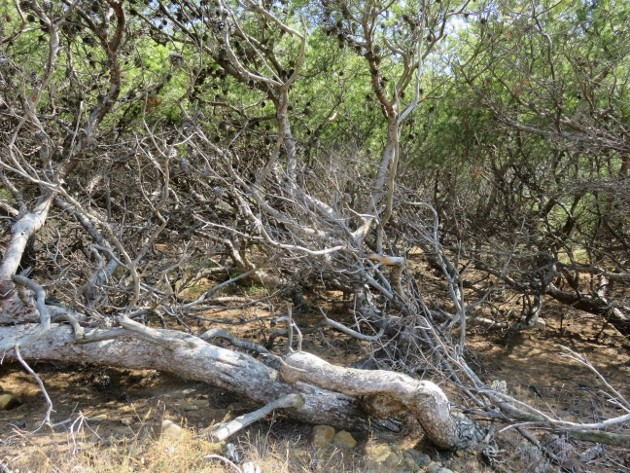ile verte - L'Ile verte à la Ciotat et ses pins tourmentés Img_6314